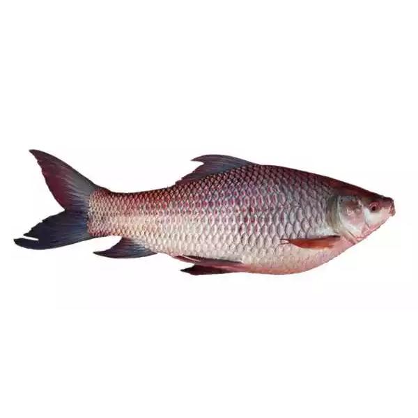 Rui Fish Live - Size: 2 kg+ (Per kg)