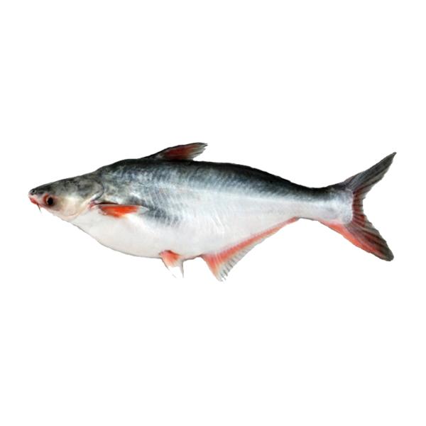 Krishibid Special Pangas Fish (size: 2 kg+)  ( Per KG)