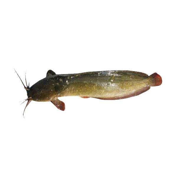 Magur Fish (1 KG)